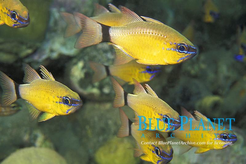 ring-tailed cardinalfish, Apogon aureus