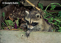 MA25-244z  Raccoon - young raccoon exploring compost bin - Procyon lotor