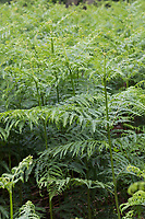 Adlerfarn, Adler-Farn, Pteridium aquilinum, brake, common bracken, bracken, eagle fern, <br /> La fougère aigle, la grande fougère