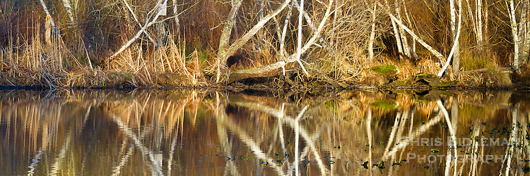 Bare trees of white birch trunks, grass and bushes are reflected in lake during Winter in panoramic orientation