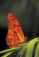 "DRYUS IULIA, """"Julia Butterfly"""", Southern USA to South America. Subfamily - Heliconiinae; Family - Nymphalidae; Order - Lepidoptera; Class - Insecta; Phyllum - Arthropoda; Kingdom - Animalia. NEW ORLEANS LOUISIANA USA AUDUBON ZOO."