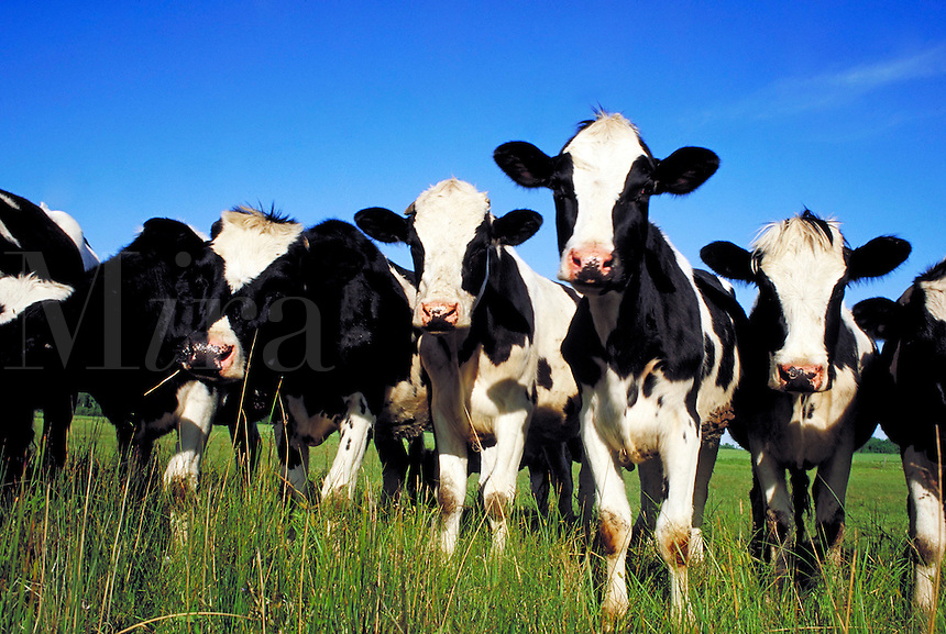 Group of black and white Jersey dairy cows staring at camera. Wisconsin.