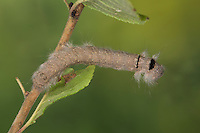 Streblote panda, Raupe, Megasoma repanda, Blueberry Lappet, blueberry lappet moth, caterpillar, Mégasome recourbé, Lasiocampidae, Glucken