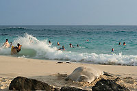 Hawaiian monk seal, Neomonachus or Monachus schauinslandi ( Critically Endangered ), 7 year old male rests on beach while humans frolic in the surf, La'aloa or Magic Sands Beach Park, Kailua Kona, Big Island, Hawaii, USA, Pacific Ocean