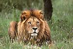 Lion (Panthera leo) laying on the Serengeti. Serengeti National Park - Tanzania