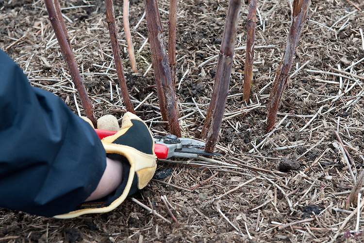 Prune autumn-fruiting raspberries in February by cutting all last year's canes down to the ground.