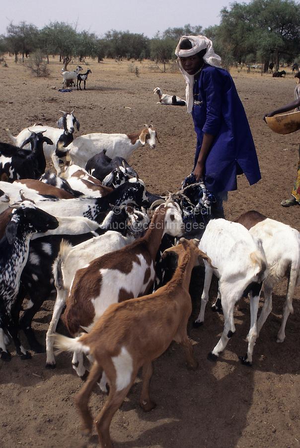 Akadaney, Niger.  Fulani Boy Watering Livestock in Semi-Arid Sahel, Central Niger.