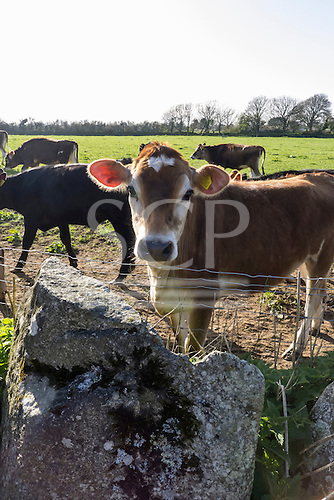 Cornwall, England. Calf, brown and white with ear marking.