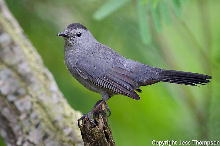 Gray Catbird, South Padre Island State Park, Texas