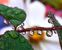 Dew drops on rose stem reflecting white cosmo flowers