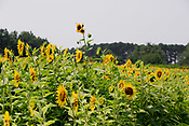 20210728_BV_INDY_Sunflowers at Dorothea Dix