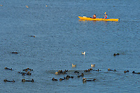 Sea Otter (Enhydra lutris).  Kayakers paddling near a raft of sea otters along the California coast.