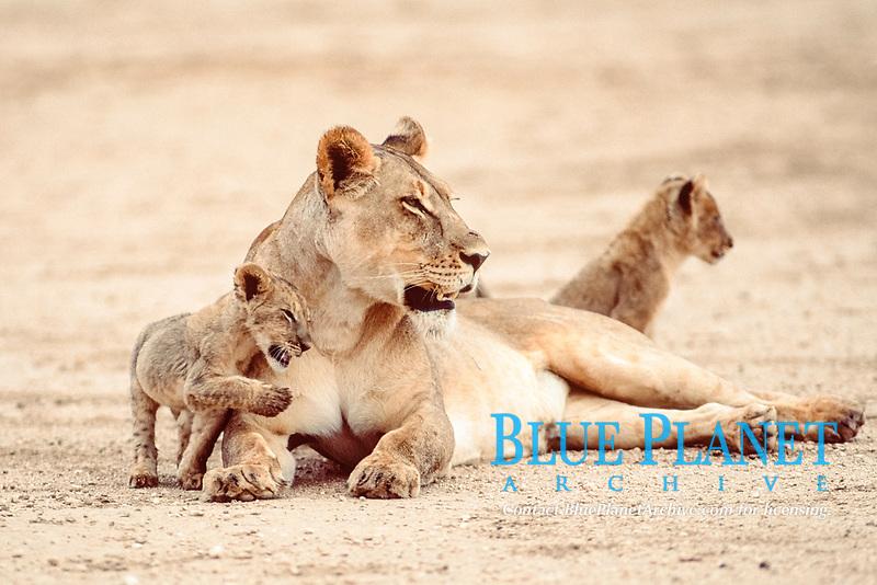 African Lioness with cubs, Kalahari Gemsbok Park, South Africa / (Panthera leo)