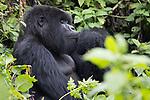 Mountian Gorilla With Injured Finger