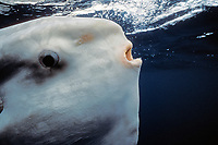 close-up of ocean sunfish, Mola mola, San Diego, California, USA, East Pacific Ocean