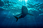 Carcharhinus perezii, Cuba Underwater, Jardines de la Reina, Protected Marine park underwater, Reef shark in the Sun Rays, Sharks
