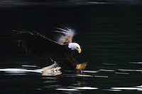 Bald Eagle fishing.  Pacific Northwest.  Eagle is blurred with slow shutterspeed to emphasize action.