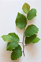 Europe/France/Ile-de-France/75012/Paris: Hamamélis  - Hamamélis virginiana.<br /> Plantes médicinales- Jardin de l'Ecole du Breuil dans le Bois de Vincennes