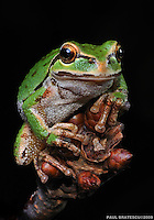 Northwest Pacific Tree Frog (Hyla regilla)