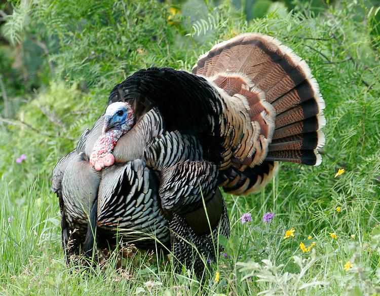 Rio Grande wild turkey gobbler displaying for hen