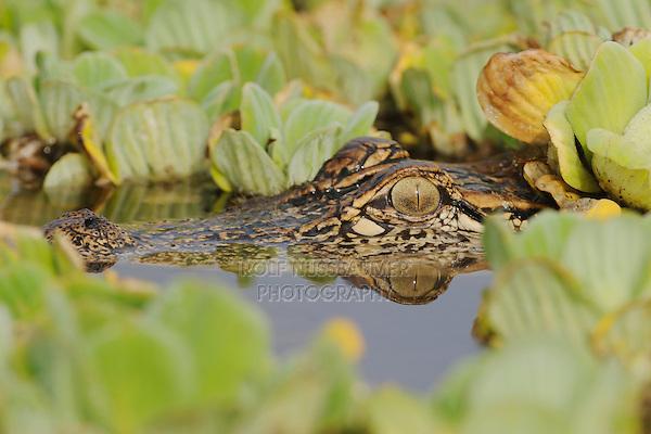 American Alligator (Alligator mississipiensis), adult in water lettuce (Pistia stratiotes), Fennessey Ranch, Refugio, Coastal Bend, Texas Coast, USA