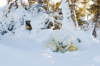 Two, very energetic spring polar bear cubs mischievously tug at their mother to wake up and play. Wapusk National Park, Manitoba Canada