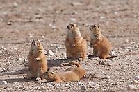 Prairie Dogs, Lubbock, Texas