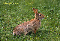 MA24-060z  Cottontail Rabbit  - Sylvilagus floridanus