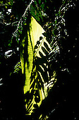 Monte Verde, Costa Rica. Overview of unspoilt cloud forest; sunlight on a leaf.