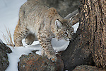 Red lowland Bobcat walking in trees