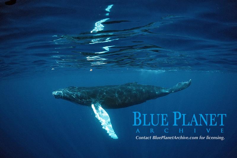 Humpback whale, Calf, Megaptera novaeangliae, Silverbanks, Caribbean Sea, Dominican Republic, Caribbean, Atlantic