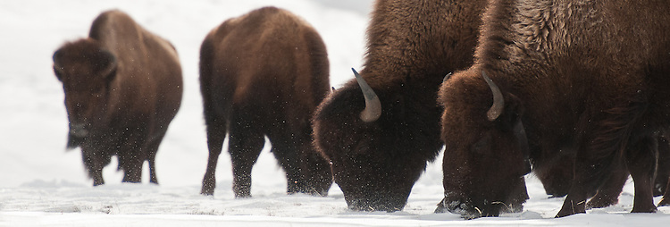 Bison grazing on Blacktail Plateau, Yellowstone NP