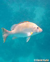0115-1202  Dog Snapper (Dogtooth Snapper) in Caribbean Reef, Gamefish, Lutjanus jocu  © David Kuhn/Dwight Kuhn Photography
