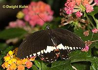 LE45-548z Common Mormon Swallowtail Butterfly, Papilio polytes, Asia