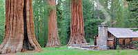 Mariposa Grove Museum with giant Sequoia Redwood trees. Yosemite National Park, California