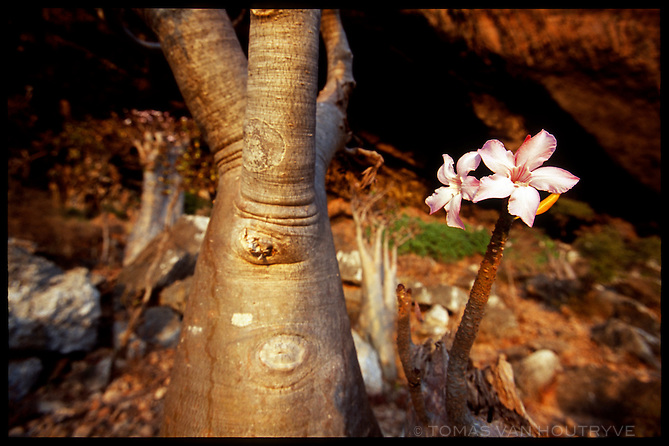 Socotran Desert Rose trees (Adenium obesum sokotranum) are seen growning near the entrance of Hoq cave on the island of Socotra, Yemen on Monday, 16 May 2005. The bizare looking plants hold water in their swollen trunks.<br />