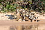 Male and female jaguars mating (Panthera onca) on a sand bank. Cuiaba River, Northern Pantanal, Mato Grosso, Brazil.