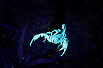 Adult Emperor Scorpion (Pandinus imperator) outside its burrow at night.  Danum Valley, Sabah, Borneo. Illuminated with a UV light.