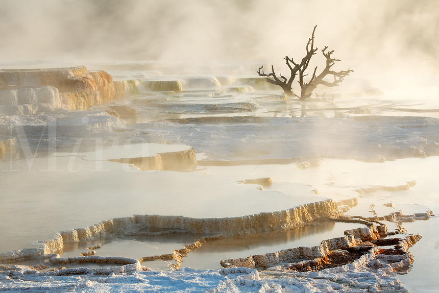 Dead tree on travertine terraces at Mammoth Hot Springs, Yellowstone National Park, Wyoming, USA