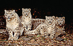 Snow leopard and cubs, Central Asia