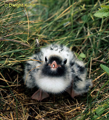 MC67-008z  Arctic Tern - fluffy young chick in nest - Machias Seal Island, Bay of Fundy - Sterna paradisaea