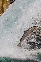 France, Aquitaine, Pyrénées-Atlantiques, Béarn, Navarrenx: Spectaculaire saut de saumon , cascade du Gave d'Oloron //  France, Pyrenees Atlantiques, Bearn, Navarrenx: Salmon jumping, Gave d'Oloron
