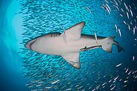 sand tiger shark, gray nurse shark, Carcharias taurus, on the wreck of The Spar, Morehead City, North Carolina, USA, Western North Atlantic Ocean
