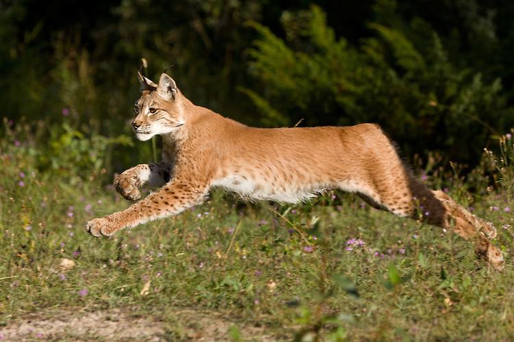 Siberian Lynx running - CA