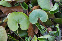 Haselwurz, Gewöhnliche Haselwurz, Asarum europaeum, Asarabacca, European Wild Ginger, hazelwort, Wild Spikenard, L'Asaret d'Europe, Blatt, Blätter, leaf, leaves