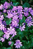 Gewöhnliches Leberblümchen, Leber-Blümchen, Hepatica nobilis, Liverleaf
