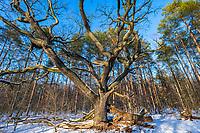 Alte Eiche im Schnee, Wildpark Potsdam, Brandenburg, Deutschland