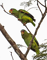 Pair of white-fronted parrots