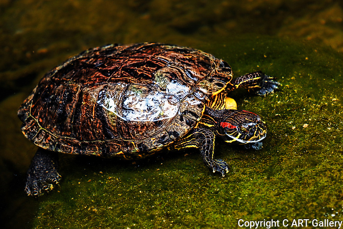 Turtle coming to the surface, Turtles of Nevada. Photograph by Alan Mahood.