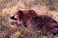 Kodiak Bear aka Alaskan Grizzly Bear and Alaska Brown Bear (Ursus arctos middendorffi) lying in Grass